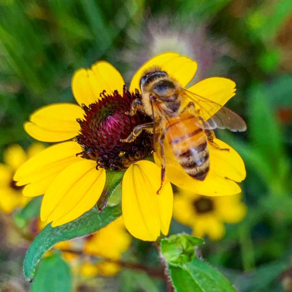 bee pollinating a rubeckia daisy