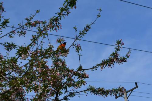 Baltimore Oriole paying a visit