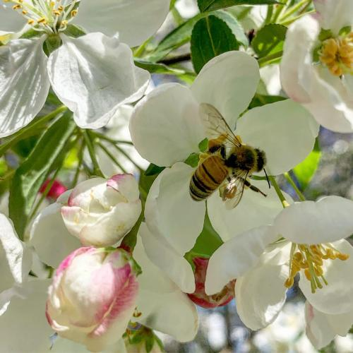A Bee and Crabapple