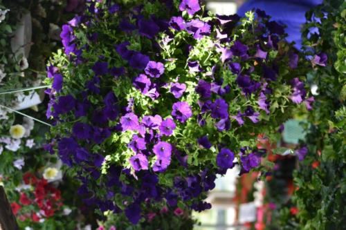 10-inch-Purple-Petunia-hanging-pot