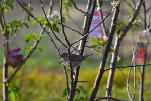 Sparrow-resting-in-Retail-ready-apple-trees