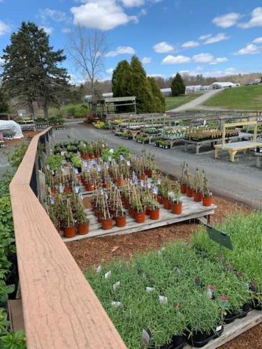 Perennial yard-in May